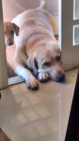 Labrador Amarelo Desaparecido, macho de 7 anos com problemas de saúde (convulsivo)