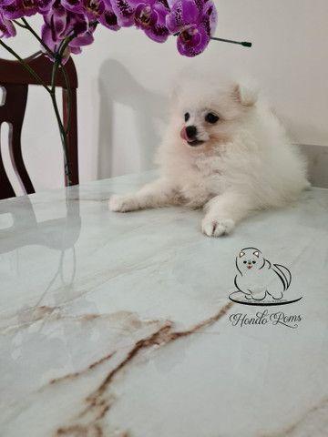 Machinho Branco  de Lulu da Pomerânia - Foto 5