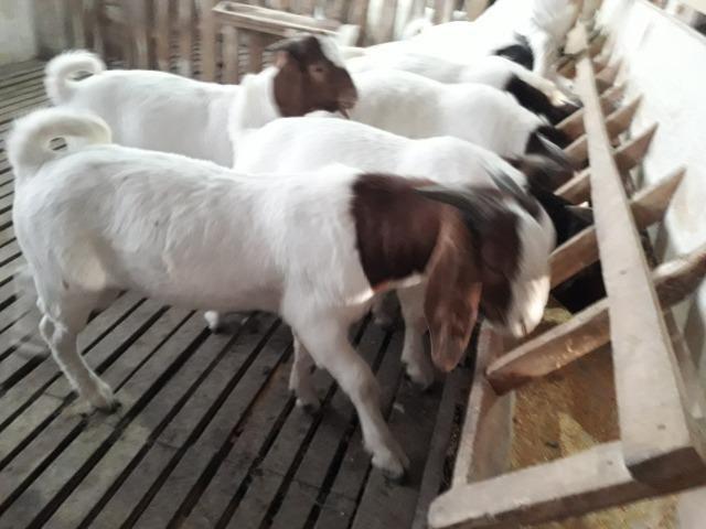 Reprodutores da raça Boer