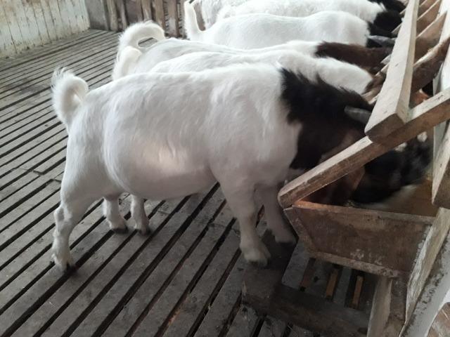 Reprodutores da raça Boer - Foto 6