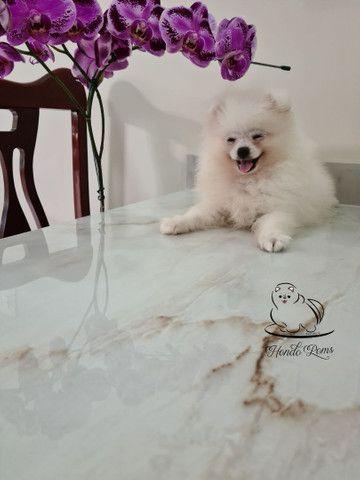 Machinho Branco  de Lulu da Pomerânia - Foto 2