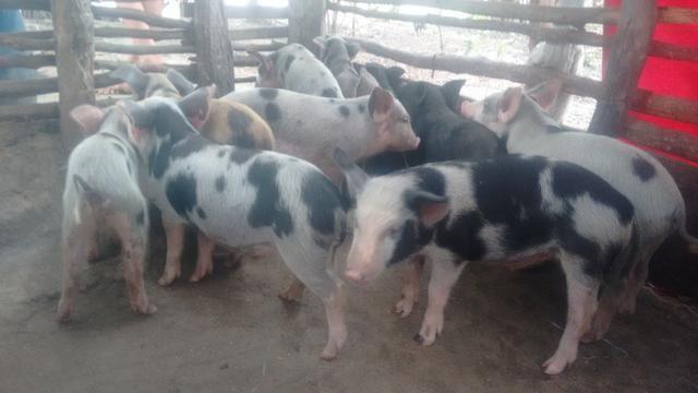 Vendo porco - Foto 2