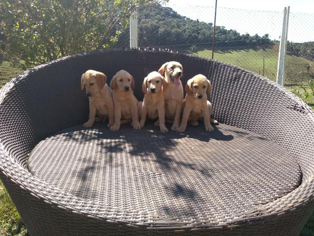 Filhotes de Labrador-Fortaleza/CE - Foto 2
