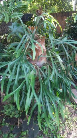 Lindo chifre de viado no tronco de coqueiro - Foto 2