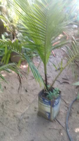 Muda coqueiro anao no saco - Foto 2