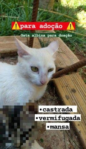 Para adoção  gata albina