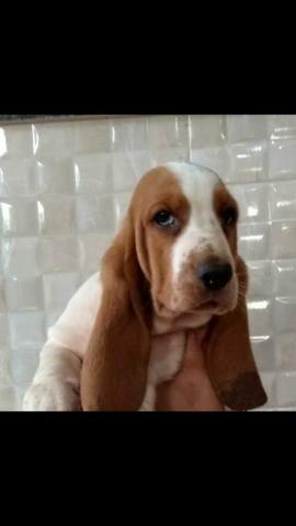 Basset Hound (com pedigree)