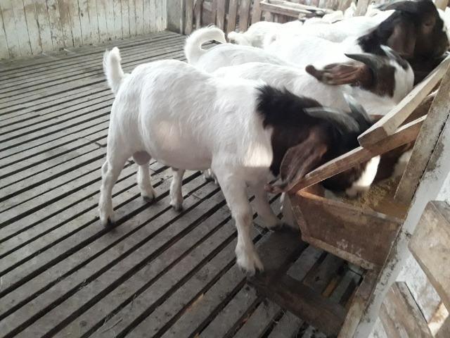 Reprodutores da raça Boer - Foto 5