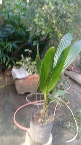 Muda coqueiro anao no saco - Foto 5