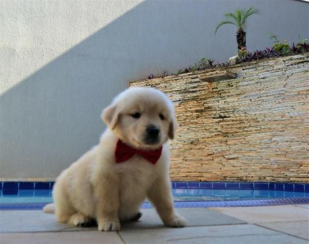 Golden Retriever animais com pelagem perfeita.>.>,