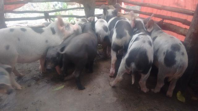 Vendo porco - Foto 3