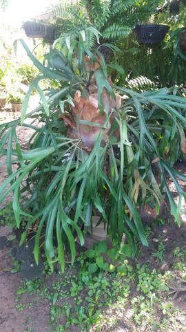 Lindo chifre de viado no tronco de coqueiro