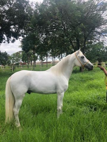 Cavalo manga larga marchador - Foto 2