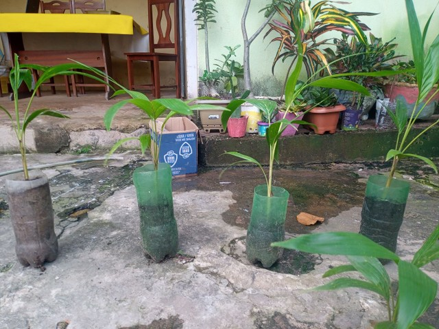 Palmeira real  - Foto 2