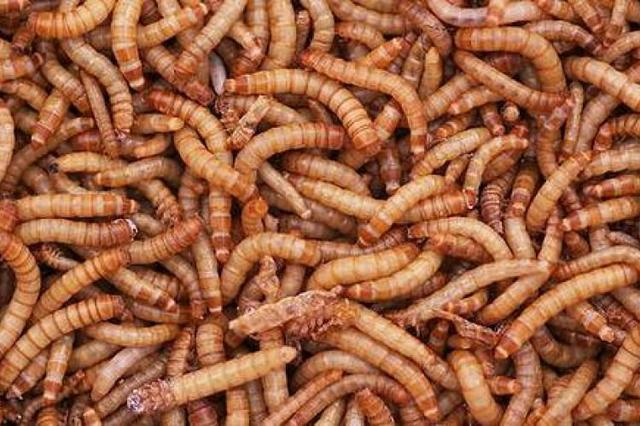 Larvas Tenebrio Entrega em Domicílio