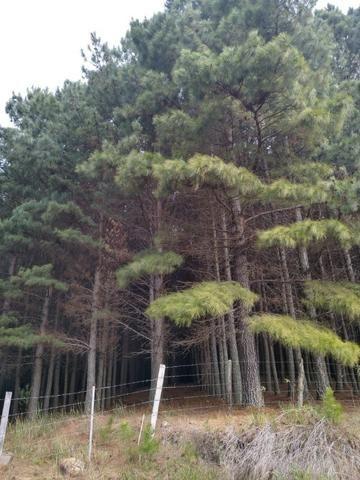 Venda de Pinus Taeda - Foto 5