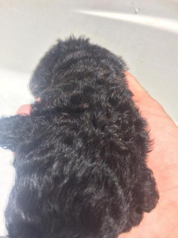 Filhotes Poodle n 1