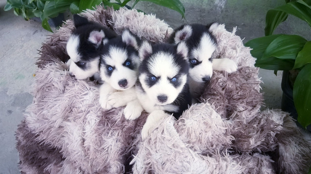 Filhotes de husky siberiano disponível  - Foto 6