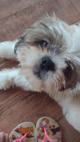 Cachorro Shitzu - Foto 2