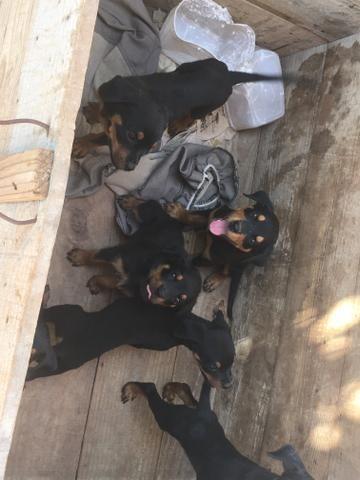 Vendo Rottweilers - Foto 2