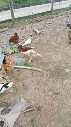 Vendo patos - Foto 5