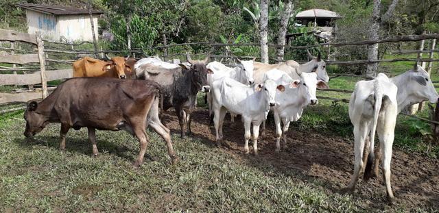 Vendo Gado! com 10 vacas para criar - Foto 5