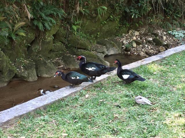 Patos de origem selvagem - Foto 5