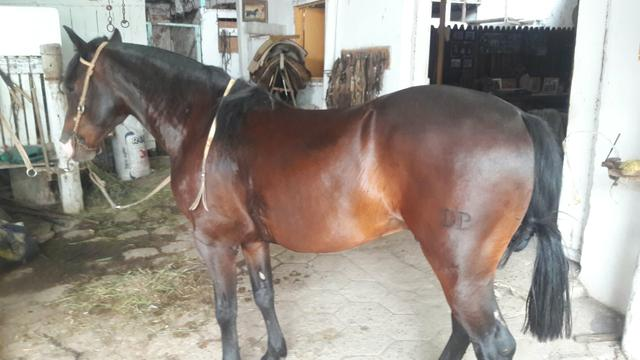 Cavalo Zaino - Foto 4