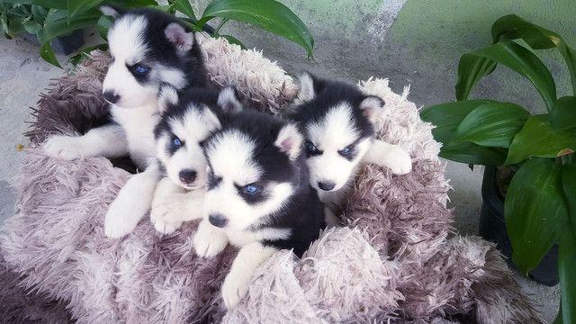 Filhotes de husky siberiano disponível  - Foto 2