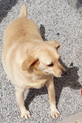 Cachorra carinhosa para adoção - Foto 3