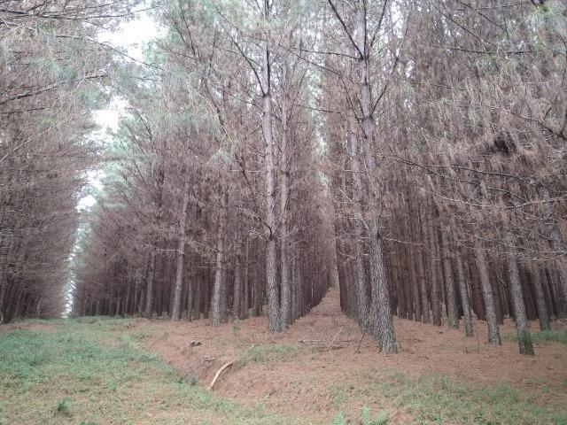 Venda de Pinus Taeda - Foto 6