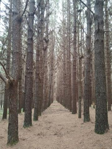 Venda de Pinus Taeda
