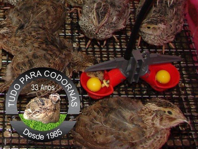 Bebedouro automático Copinho Duplo Iniciador para Pintinhos,Codorninhas e Aves pequenas