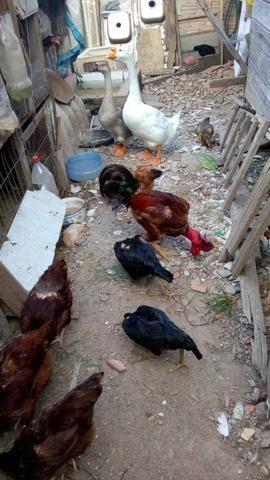 Lote galinhas frangas e frangos - Foto 4