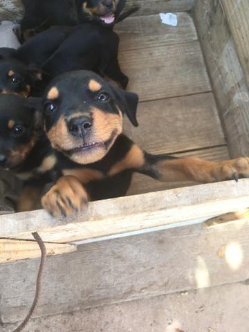 Vendo Rottweilers - Foto 5