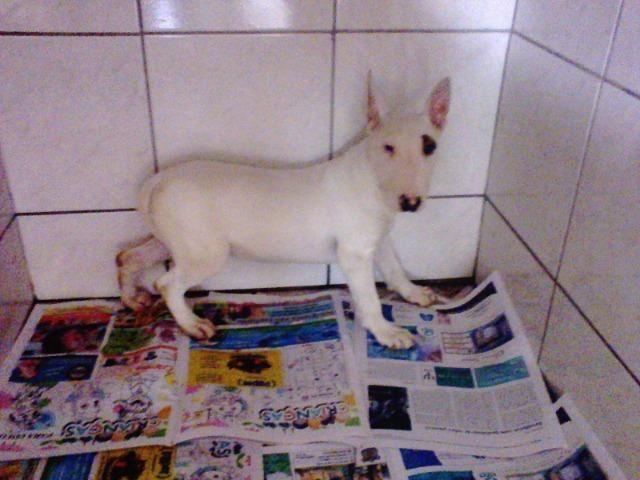 Bull Terrier femea,4 meses,3 vacinas,desverminadas,parcelo até 12 x