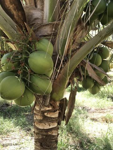 Coco verde - Foto 4