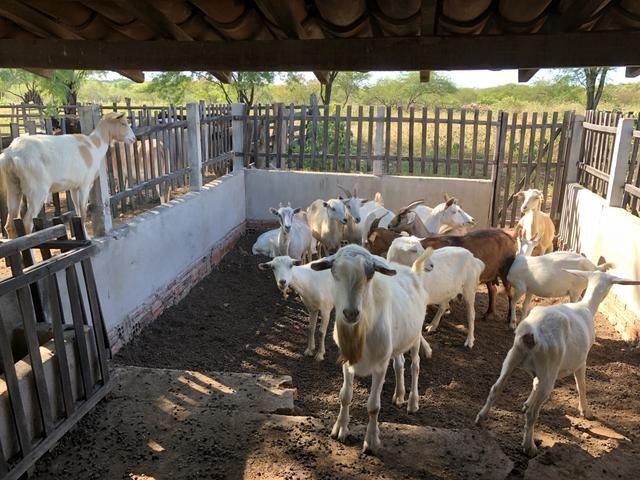 Vendo cabras e bode Saanen