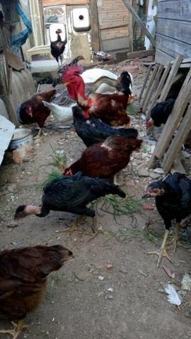 Lote galinhas frangas e frangos