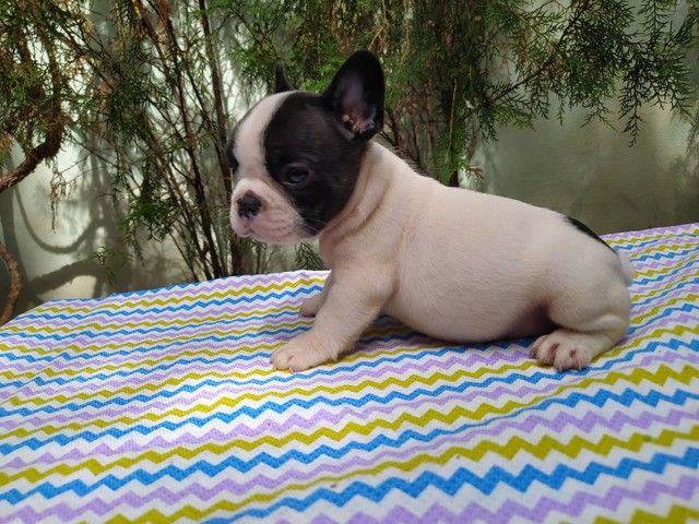 Bulldog francês 45 dias - Foto 5