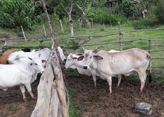 Vendo Gado! com 10 vacas para criar - Foto 4