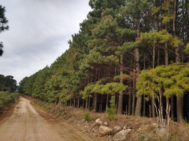 Venda de Pinus Taeda - Foto 2