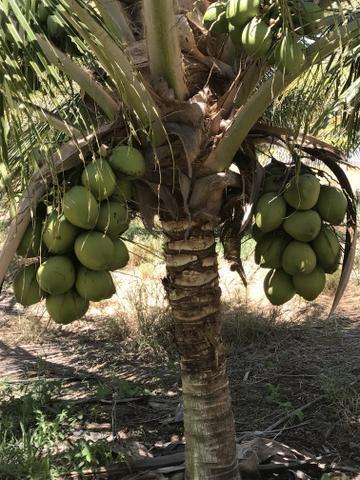 Coco verde - Foto 6