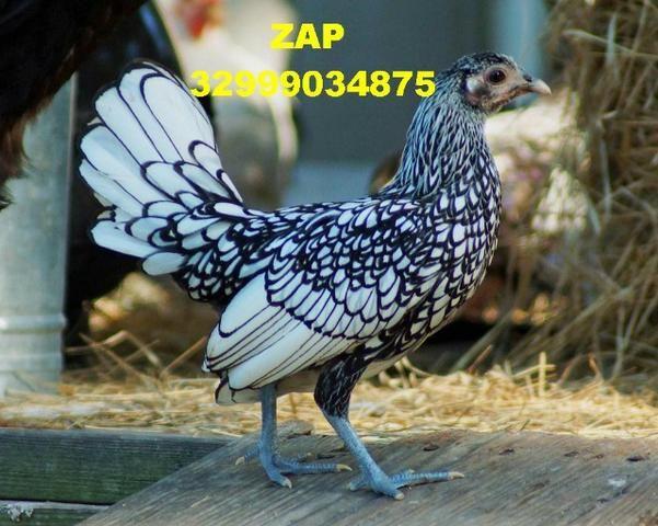 Lindos pintinhos de galinha exotica sebrights para ornamentação de sítios chácaras etc - Foto 3