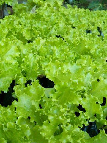 Pé de alface plantado no pote - Foto 5