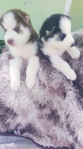 Filhotes de husky siberiano disponível  - Foto 3