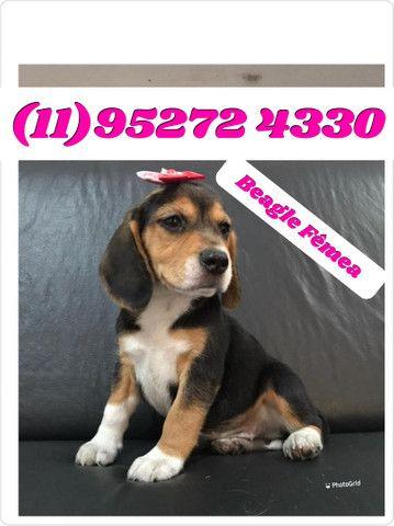 Filhote de Beagle Fêmea Tricolor a pronta entrega...