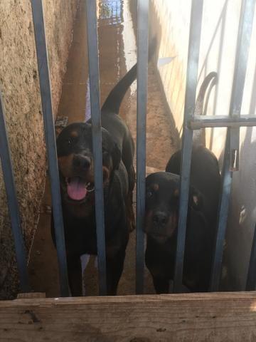Vendo Rottweilers - Foto 6