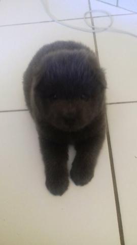 Cachorro chow-chow filhote macho - Foto 2