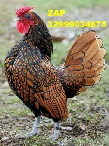 Lindos pintinhos de galinha exotica sebrights para ornamentação de sítios chácaras etc